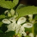 White Deadnettle - Photo (c) AnneTanne, some rights reserved (CC BY-NC-SA)