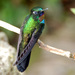 Heliangelus exortis - Photo (c) Carol Foil,  זכויות יוצרים חלקיות (CC BY-NC-ND)