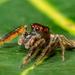 Artabrus aurantipilosus - Photo (c) Tiziano, algunos derechos reservados (CC BY-NC)