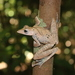 Collett's Tree Frog - Photo (c) Mahyana, some rights reserved (CC BY-NC)