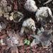 Scleroderma bermudense - Photo (c) Alan R. Franck, algunos derechos reservados (CC BY-NC)