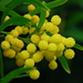 Silver Wattle - Photo (c) Vincent Brassinne, some rights reserved (CC BY-NC-ND)