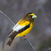 Evening Grosbeak - Photo (c) Tim Harding, some rights reserved (CC BY-NC-ND)