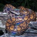 Western Rainbow Boa - Photo (c) dhfischer, some rights reserved (CC BY-NC)