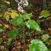 Symphyotrichum cordifolium - Photo (c) aarongunnar, algunos derechos reservados (CC BY)