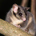 Leadbeater's Possum - Photo (c) Tim Bawden, some rights reserved (CC BY-NC)