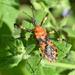 Pyrrhosphodrus caatingensis - Photo (c) Frederico Acaz Sonntag, μερικά δικαιώματα διατηρούνται (CC BY-NC)