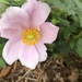 Japanese Anemone - Photo (c) Glen Colwell, some rights reserved (CC BY-NC)