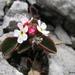 Androsace graceae - Photo (c) Kenneth Redmond, μερικά δικαιώματα διατηρούνται (CC BY-NC)