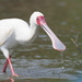 African Spoonbill - Photo (c) tanhk, some rights reserved (CC BY-NC)