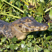 Yacare Caiman - Photo (c) Greg Lasley, some rights reserved (CC BY-NC)