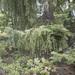 Picea breweriana - Photo (c) Todd Ramsden, algunos derechos reservados (CC BY-NC)