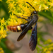 Two-spotted Scoliid Wasp - Photo (c) Thomas Shahan, some rights reserved (CC BY-NC)