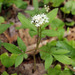 Dwarf Ginseng - Photo (c) Charles Wohlers, some rights reserved (CC BY-NC-ND)
