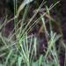 Pata de Gallo - Photo (c) aarongunnar, algunos derechos reservados (CC BY)