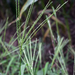 Hairy Crabgrass - Photo (c) aarongunnar, some rights reserved (CC BY)