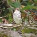 Mauritius Kestrel - Photo (c) John Mauremootoo, some rights reserved (CC BY-NC-SA)