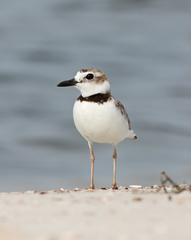 Wilson's Plover - Photo (c) Dan Irizarry, some rights reserved (CC BY-NC-SA)