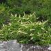 Clethra acuminata - Photo (c) BlueRidgeKitties, algunos derechos reservados (CC BY-NC-SA)