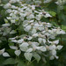 Clustered Mountainmint - Photo (c) rockerBOO, some rights reserved (CC BY-SA)