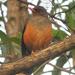 Turdus abyssinicus bambusicola - Photo (c) Nik Borrow, μερικά δικαιώματα διατηρούνται (CC BY-NC)