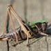 Bog Bush-Cricket - Photo (c) Clifton Beard, some rights reserved (CC BY-NC)