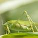Phaneroptera falcata - Photo (c) Sarah Gregg, algunos derechos reservados (CC BY-NC-SA)