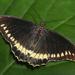 Mariposa Cola de Golondrina de Borde Dorado - Photo (c) DZ Butterflies, algunos derechos reservados (CC BY-NC-SA)