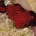 Actinia tenebrosa - Photo (c) eyeweed, osa oikeuksista pidätetään (CC BY-NC-ND)