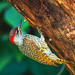 African Green Woodpeckers - Photo (c) Arno Meintjes, some rights reserved (CC BY-NC)