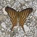 Marpesia chiron - Photo (c) Bill Bouton,  זכויות יוצרים חלקיות (CC BY-SA)