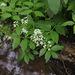 Cardamine macrophylla - Photo (c) V.S. Volkotrub, osa oikeuksista pidätetään (CC BY-NC)
