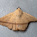 Armana nigraericta - Photo (c) msone,  זכויות יוצרים חלקיות (CC BY-NC-ND)