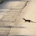 Korean Weasel - Photo (c) Kim, Hyun-tae, some rights reserved (CC BY-NC-SA)