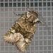 Lacinipolia olivacea - Photo (c) tapaculo99, algunos derechos reservados (CC BY-NC)