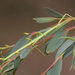Smooth Stick Insect - Photo (c) oldbilluk, some rights reserved (CC BY-NC-SA)