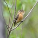 Buff-breasted Flycatcher - Photo (c) Dominic Sherony, some rights reserved (CC BY-SA)