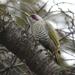 Picus awokera - Photo (c) ken, algunos derechos reservados (CC BY-NC-ND)