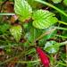 Centropogon costaricae - Photo (c) Leonardo Álvarez-Alcázar, algunos derechos reservados (CC BY-NC)