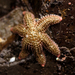 Six-rayed Star - Photo (c) matt knoth, some rights reserved (CC BY-NC-ND)
