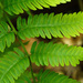 Dryopteris goldiana - Photo (c) Tom Potterfield, algunos derechos reservados (CC BY-NC-SA)