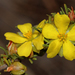 Hibbertia rupicola - Photo (c) Timothy Hammer, some rights reserved (CC BY)