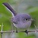 Balança-Rabo-Azul-Cinzento - Photo (c) Jerry Oldenettel, alguns direitos reservados (CC BY-NC-SA)