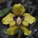 Cyrtochilum macranthum - Photo (c) jorgebrito, μερικά δικαιώματα διατηρούνται (CC BY-NC)
