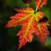 Maples o Arces - Photo (c) Ed Hass, algunos derechos reservados (CC BY-NC)