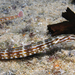 Corythoichthys schultzi - Photo (c) Philippe Guillaume, algunos derechos reservados (CC BY-NC)