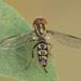 Toxomerus tibicen - Photo ללא זכויות יוצרים