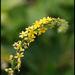Agrimonias - Photo (c) Steve Chilton, algunos derechos reservados (CC BY-NC-ND)