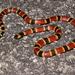 Serpiente Coralillo del Sureste - Photo (c) Pedro E. Nahuat-Cervera, algunos derechos reservados (CC BY-NC)
