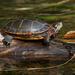 Tartaruga-Pintada - Photo (c) Susan Elliott, alguns direitos reservados (CC BY-NC)